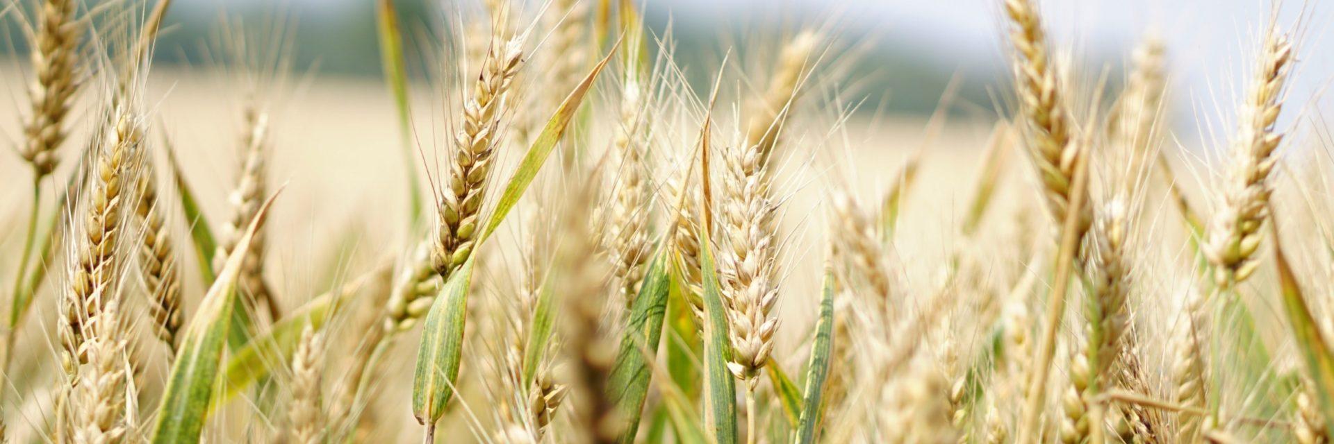 Agriculture Arable Barley Blur 265216
